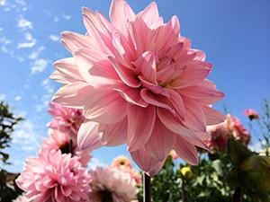Apple iPhone 5S ejemplo  fotos flor